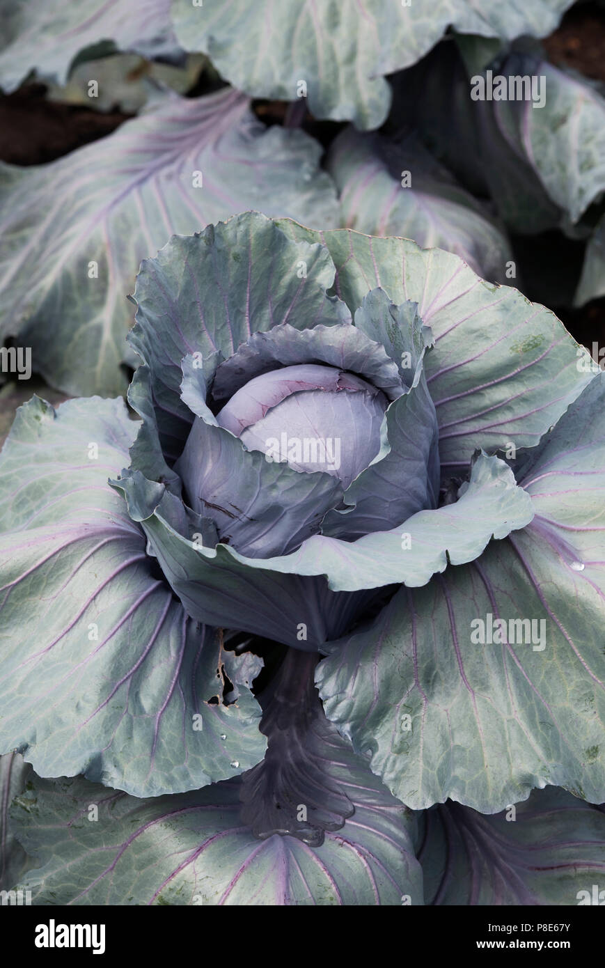 Brassica oleracea . Cabbage 'Red jewel'. Cabbages growing on a vegetable display at RHS Hampton court flower show 2018. London - Stock Image