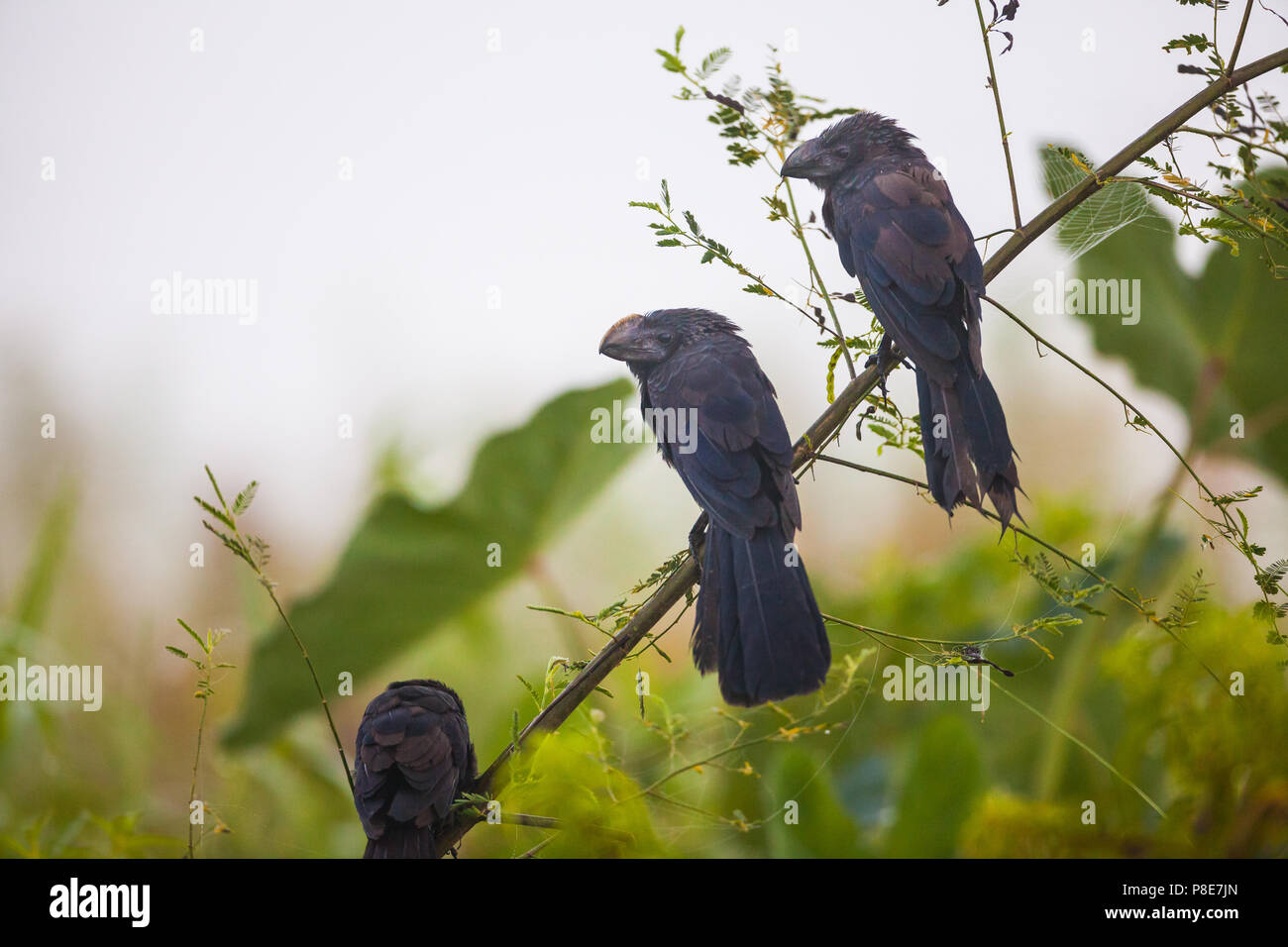 Smooth-billed Ani, Crotophaga ani, on a branch in Rio Chagres, Republic of Panama. - Stock Image