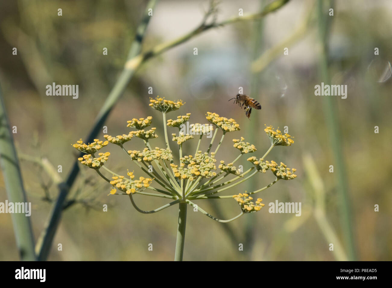 Honey bees pollinatiing fennel flowers. - Stock Image