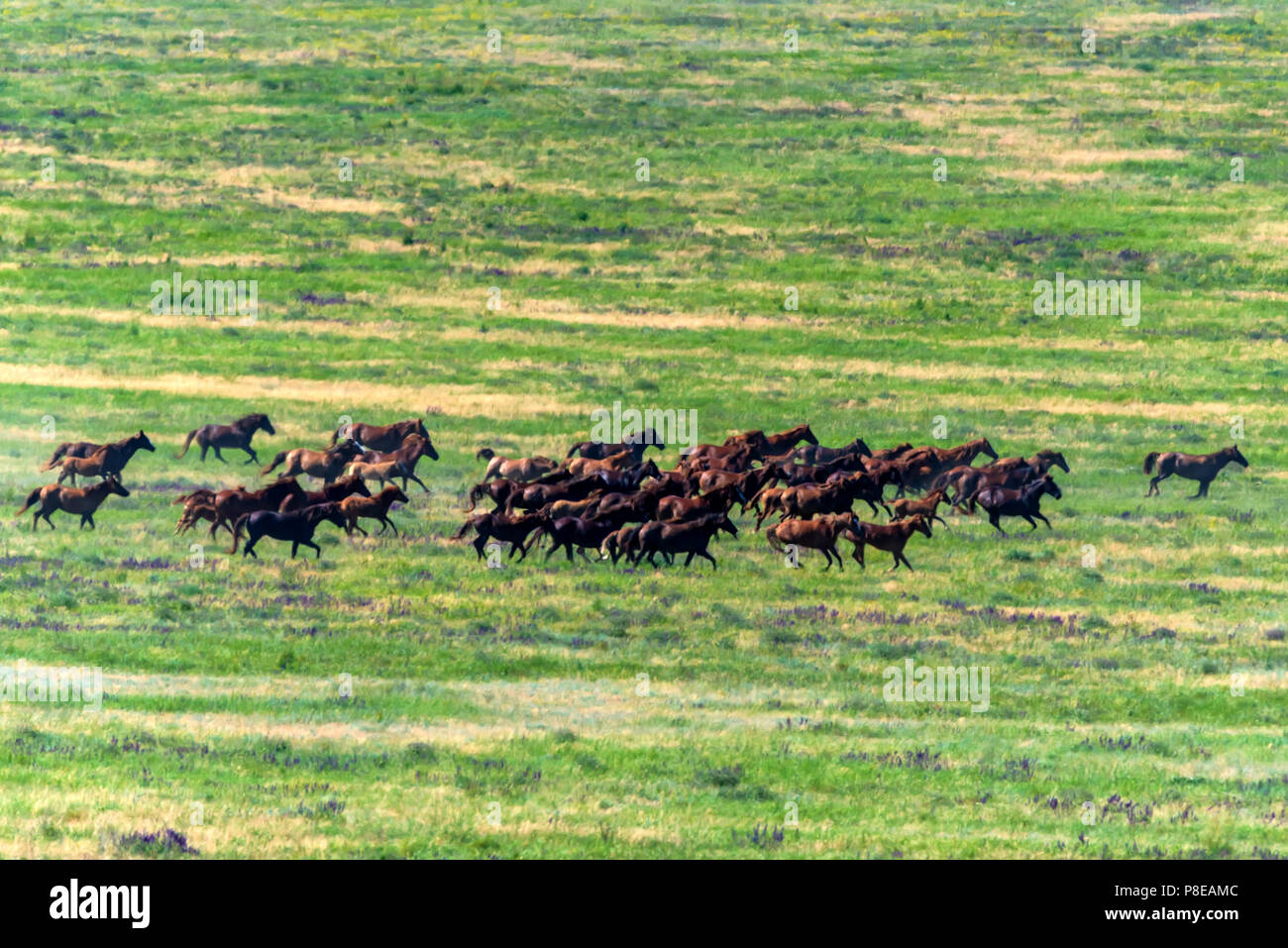 Wild horses gallopping on summer meadow - Stock Image