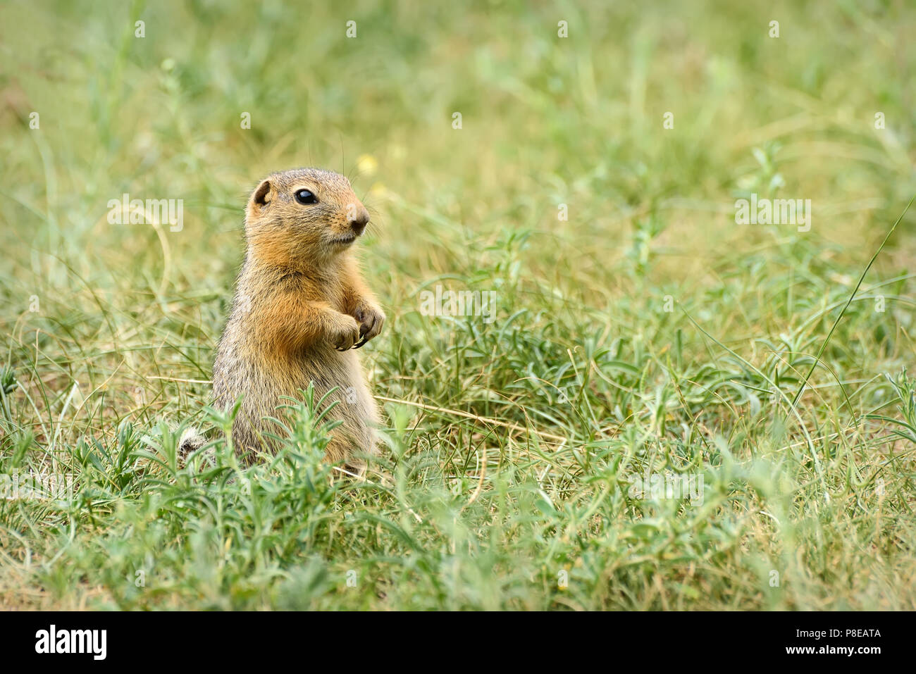 Gopher Rodent Stock Photos & Gopher Rodent Stock Images - Alamy
