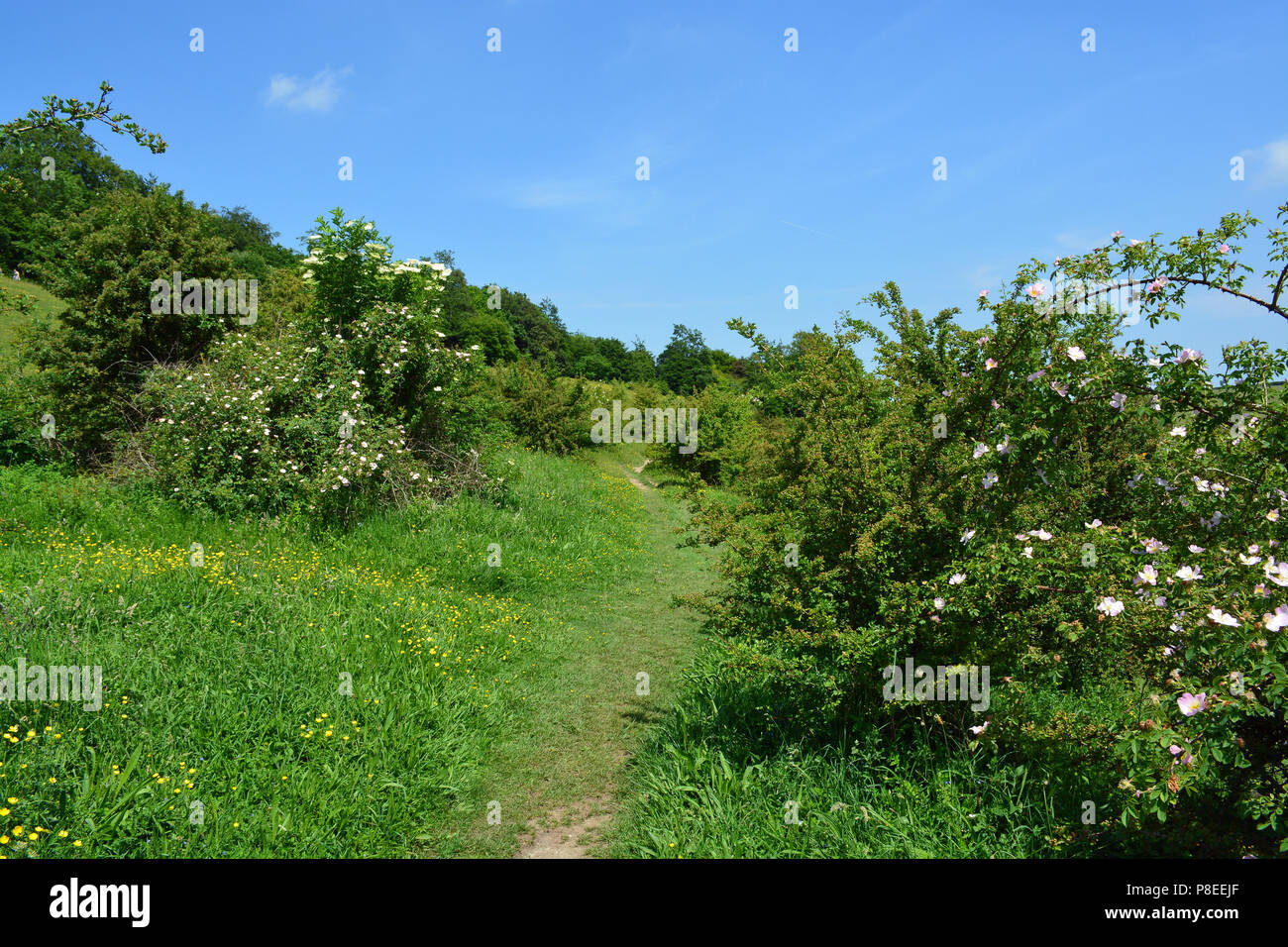 Queendown Warren Nature Reserve, Kent - Stock Image