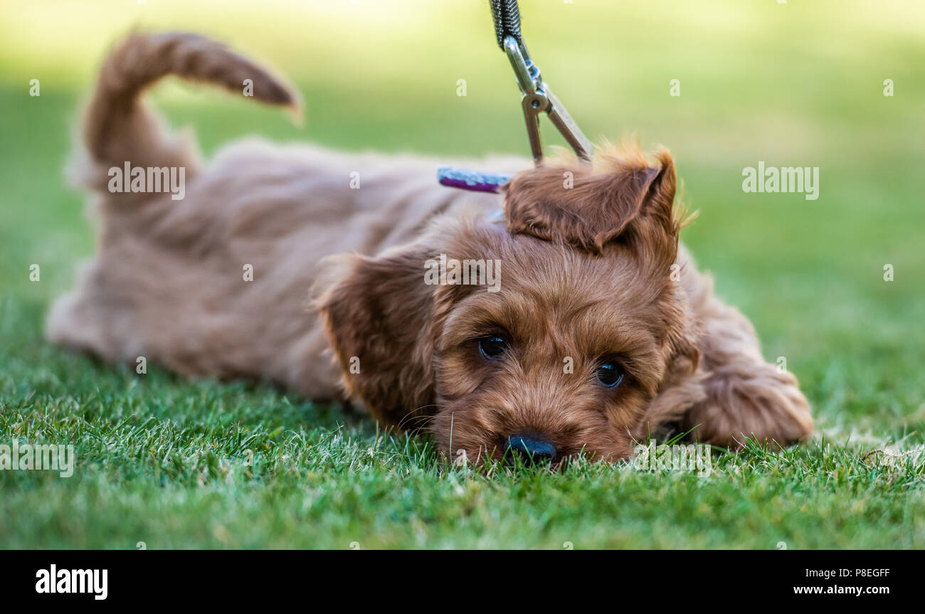 A young red Cockapoo puppy being sleepy in its owners garden - Stock Image
