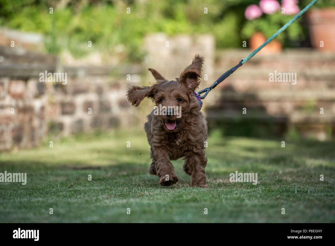 A young red Cockapoo puppy being playful in its owners garden in its owners garden - Stock Image