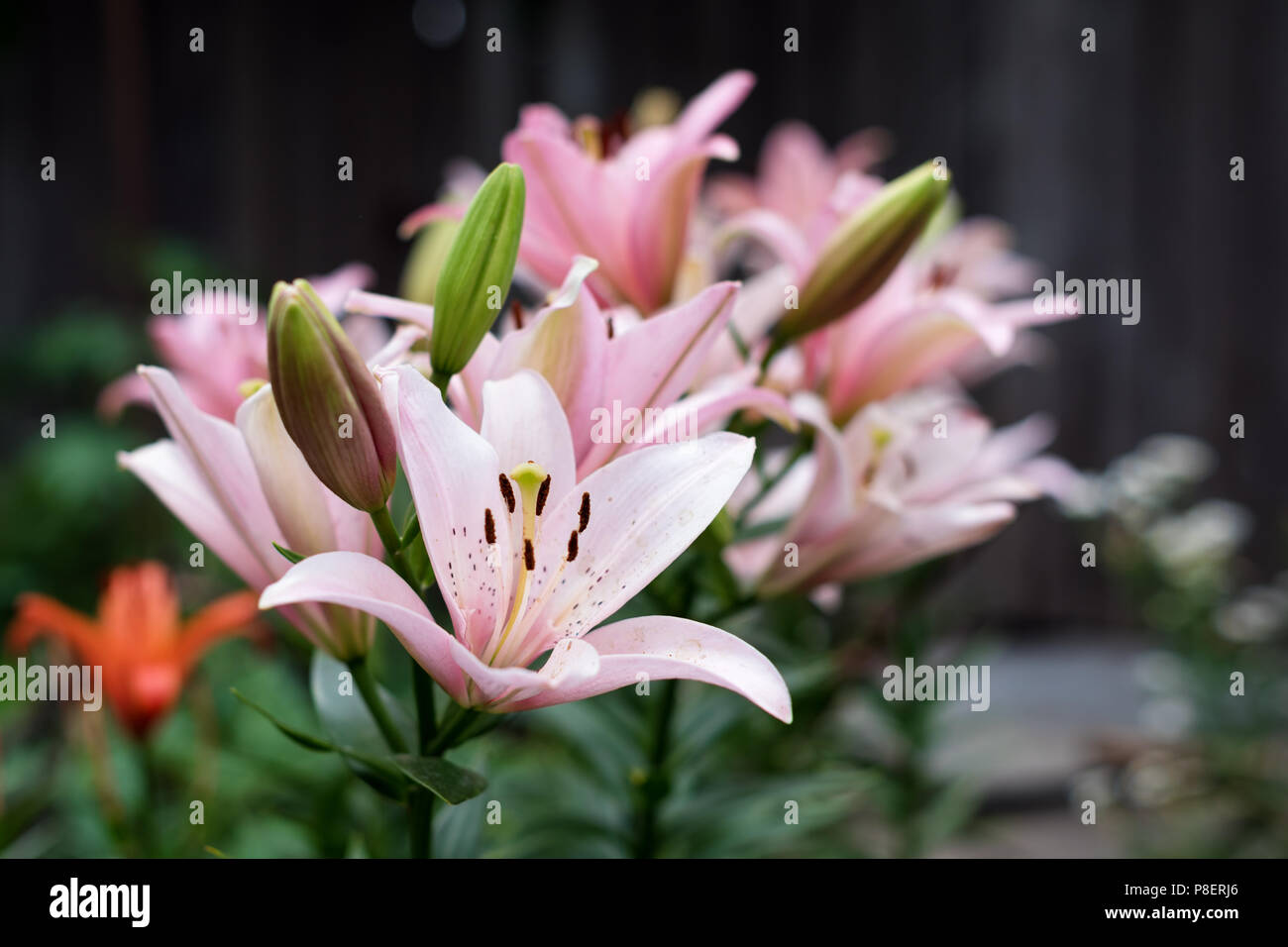 Flower White Pink Lily Bud Leaves Stock Photos & Flower