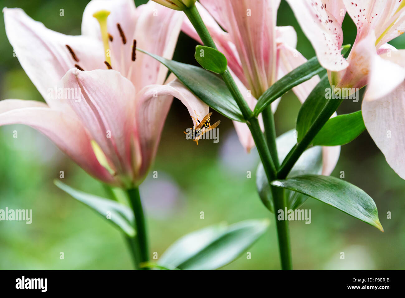 Beautiful lily flowers on green leaves background wasp sits on the beautiful lily flowers on green leaves background wasp sits on the flower lilium longiflorum flowers in the garden izmirmasajfo