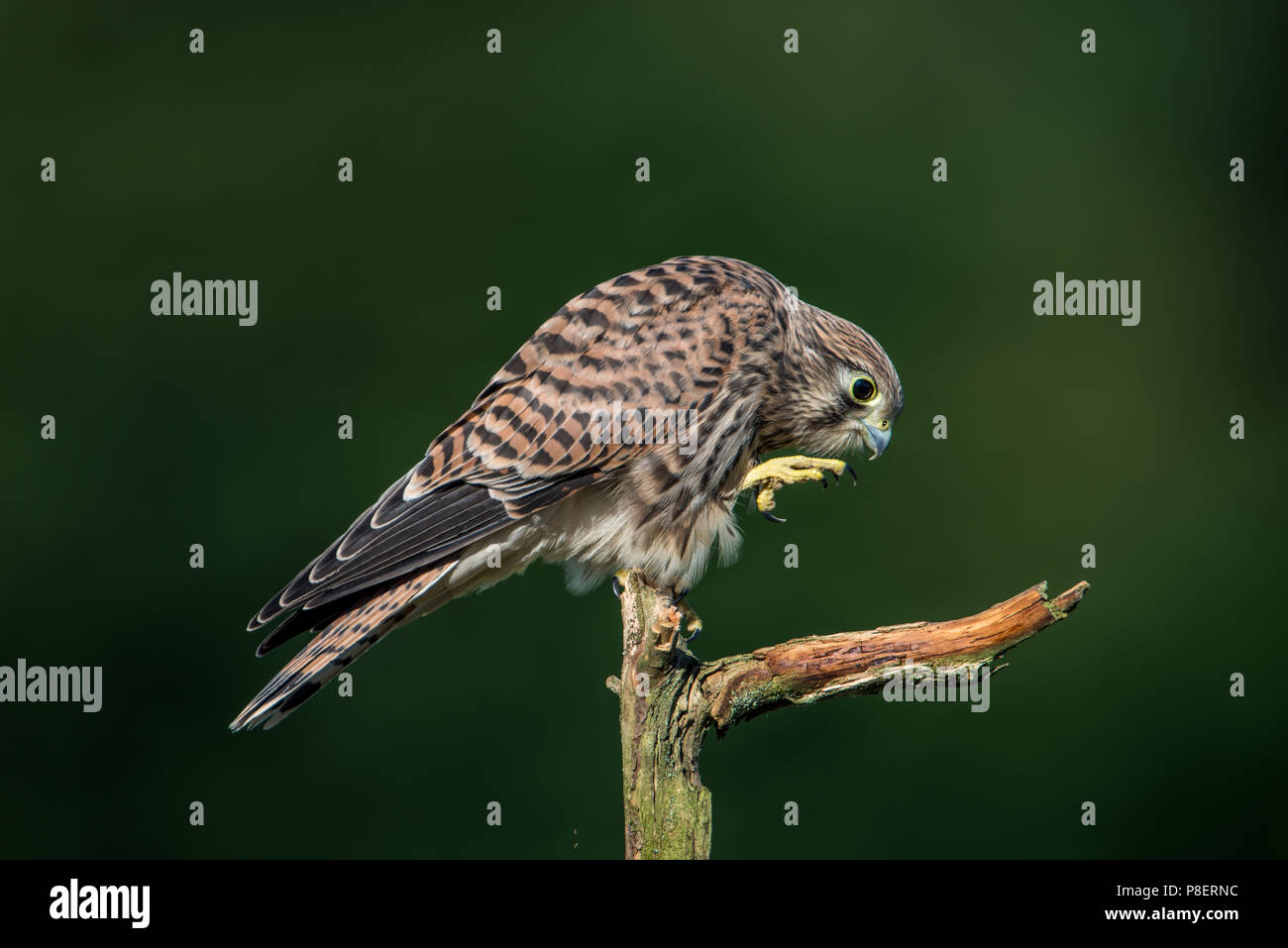 Next step of the young european kestrel (Falco tinnunculus) on the old branch with a nice green defocused background - Stock Image
