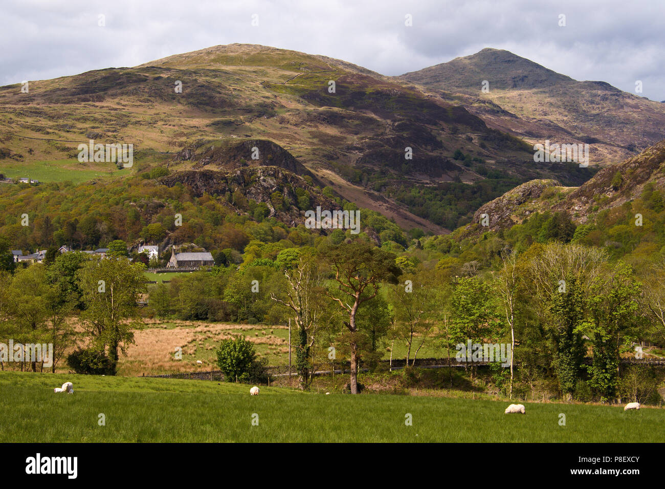 Sheep grazing near the village of Bedgellert with the summit of Mt. Snowdon in the background; Snowdonia National park; Wales; UK Stock Photo