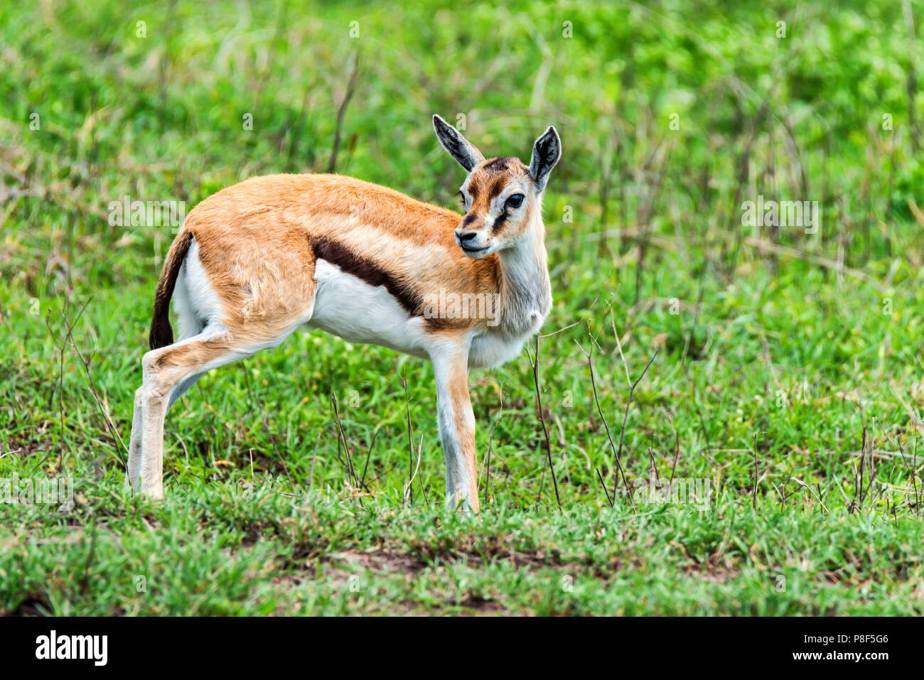 Wild Thompson's gazelle Eudorcas thomsonii Stock Photo