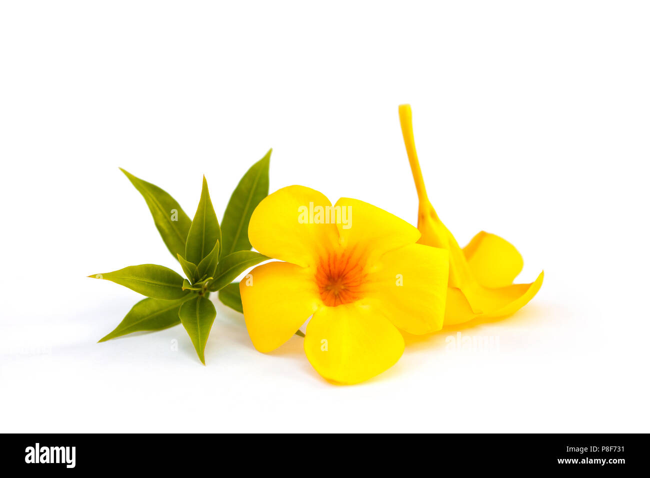 Golden Trumpet Or Yellow Bell Flower And Leaves Isolated On White