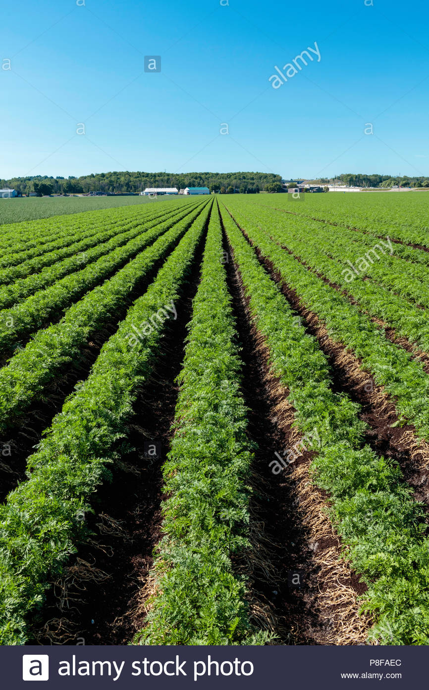 Carrot crop growing in a field on a polder marsh farm near Bradford Ontario Canada Holland Marsh - Stock Image