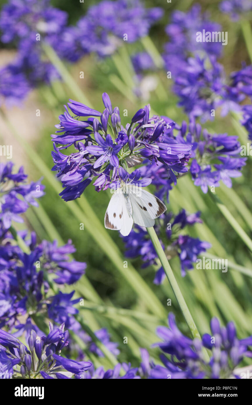 Pieris brassicae. Female Large cabbage white butterfly feeding on Agapanthus flowers. - Stock Image