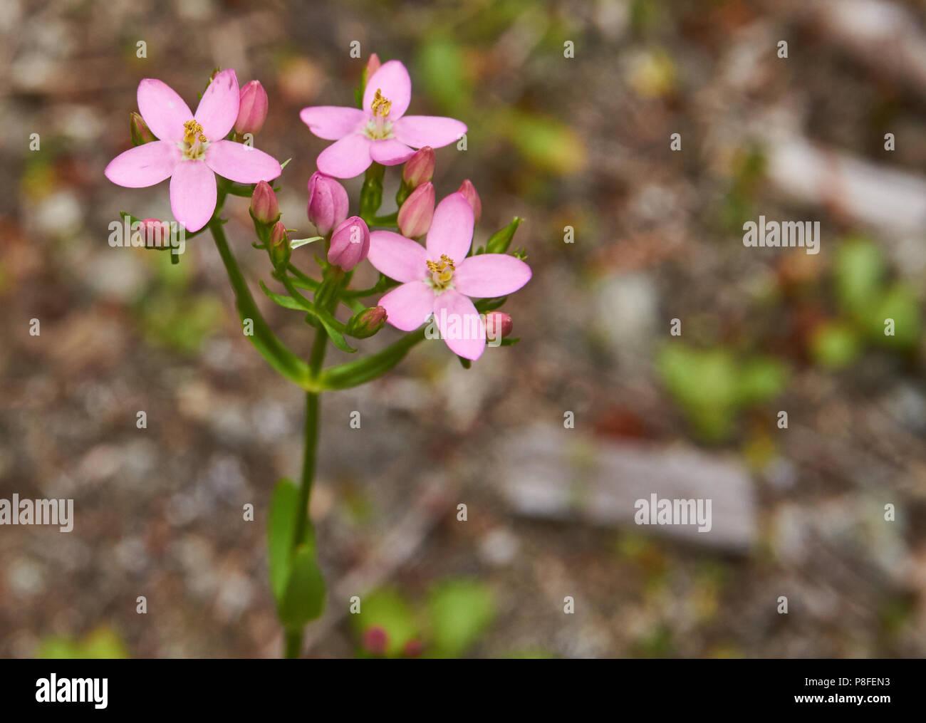 Has tiny pink flowers stock photos has tiny pink flowers stock tiny pink flowers stock image mightylinksfo