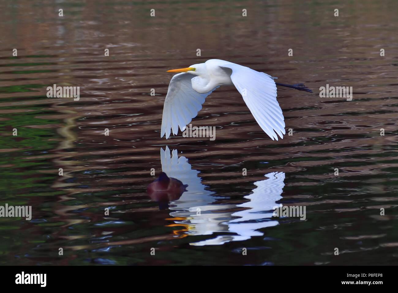 An Australian, Queensland nonbreeding Great Egret ( Ardea alba ) flying over a Lagoon - Stock Image