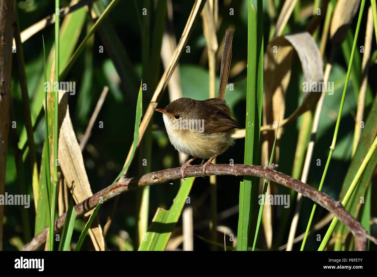 An Australian, Queensland Female Red-backed Fairy-wren ( Malurus melanocephalus ) perched on a tree branch - Stock Image
