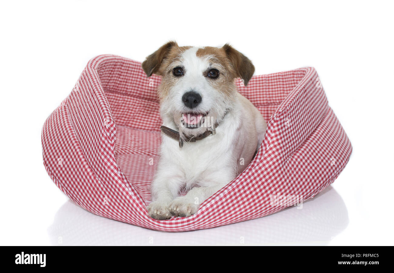 CUTE JACK RUSSELL DOG  ON RED AND WHITE CHECKERED DOG BED ISOLATED ON WHITE BACKGROUND - Stock Image