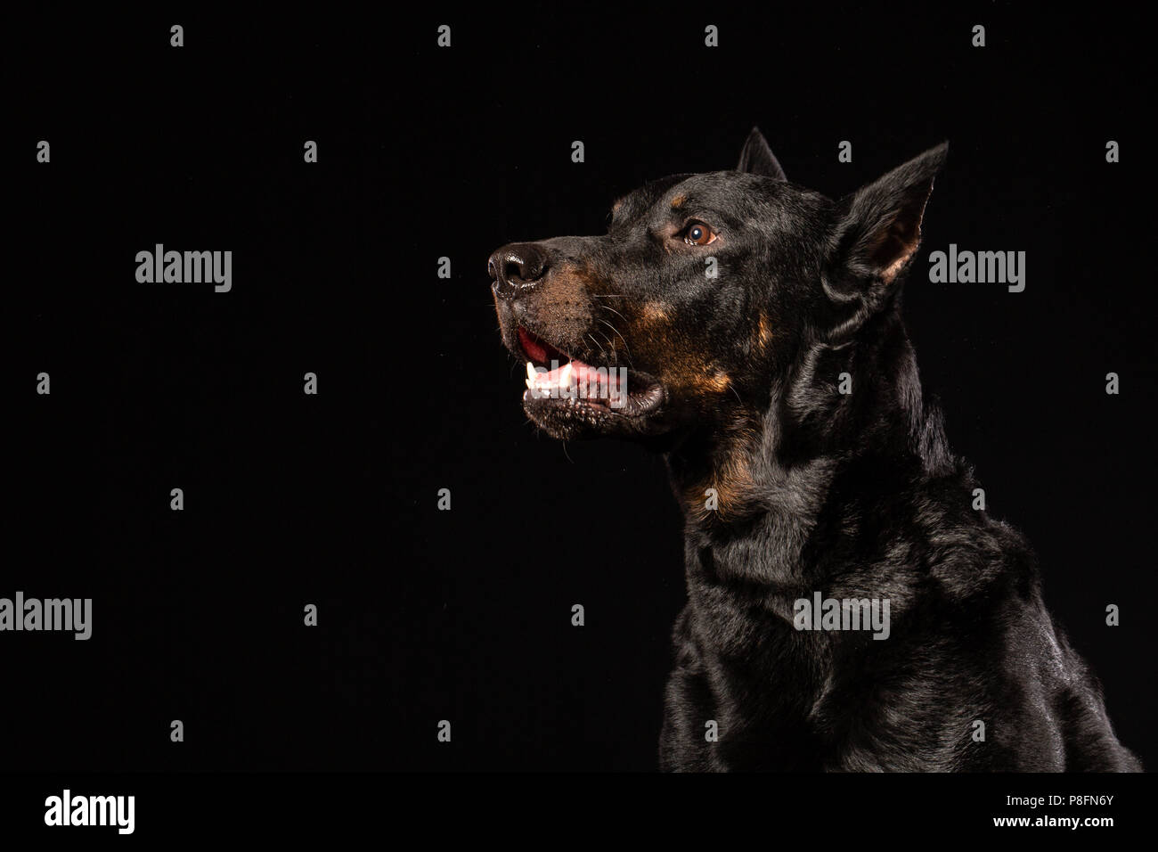 Doberman Pinscher Dog Standing and Looking in front of him on isolated Black background, Side view. Copy space - Stock Image