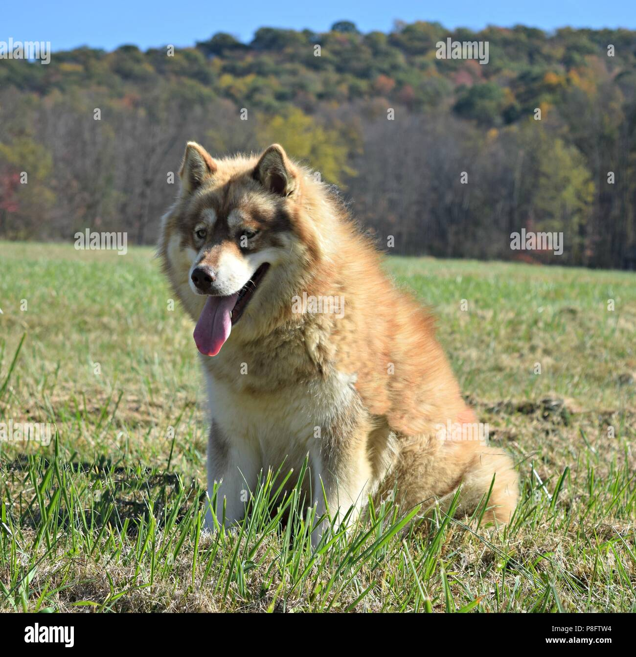 Red dirty faced Siberian husky Stock Photo
