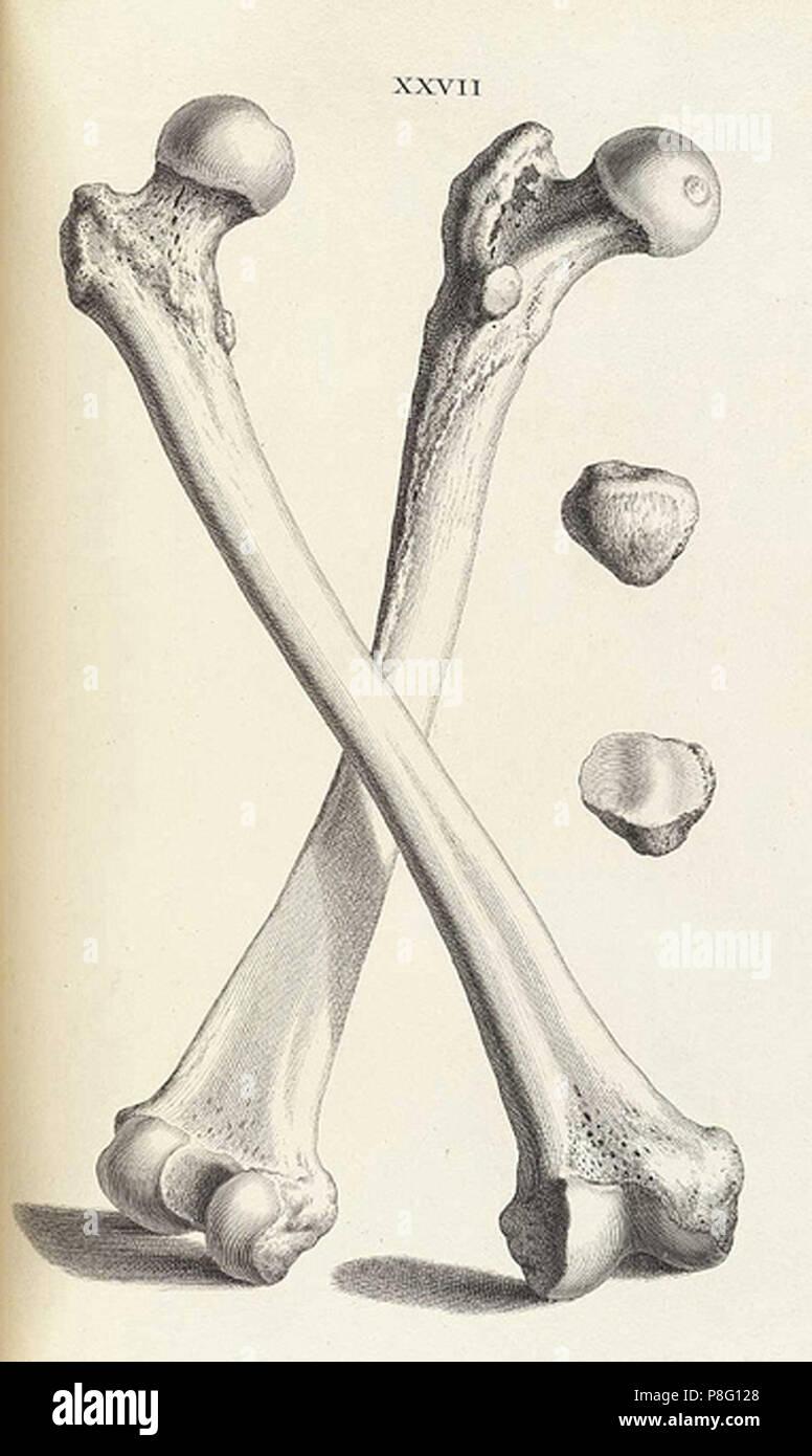 vintage animal skeleton illustration - Stock Image