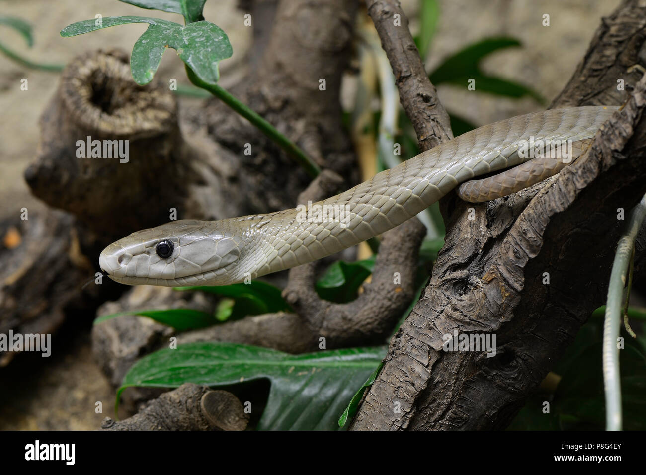 Schwarze Mamba (Dendroaspis polylepis), Giftschlange, capitve, Vorkommen in Afrika - Stock Image