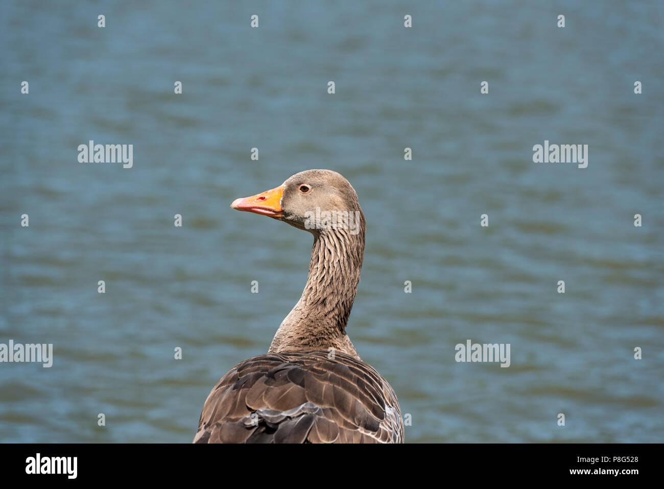 Greylag goose, anser anser, anatidae, anserifomes.Waterfowl by a UK lake. - Stock Image