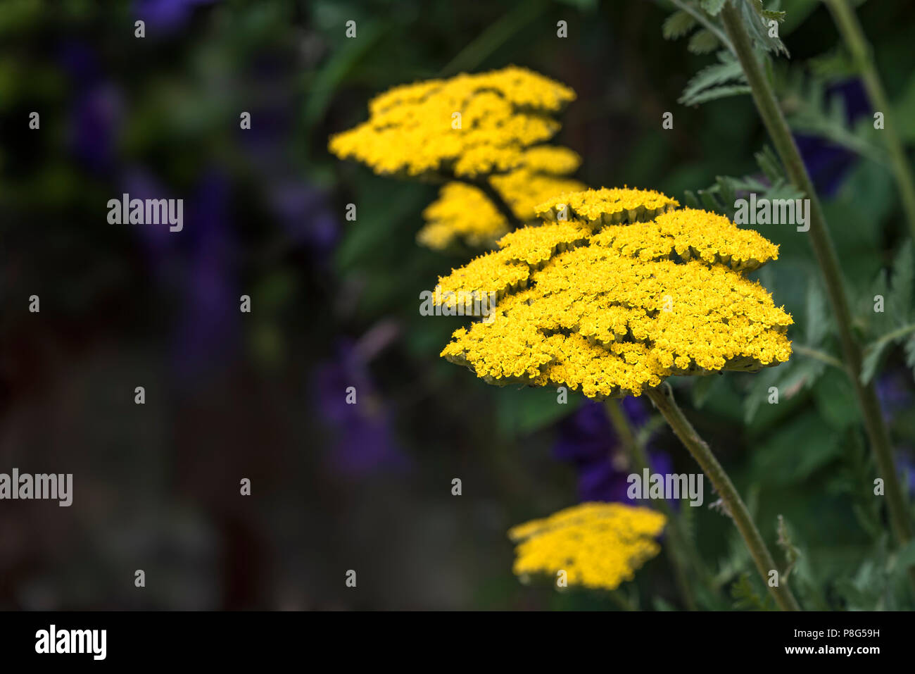 Achillea filipendulina Gold Plate,  asteraceae, yarrow, millefolium. Yellow bee friendly flowers. Stock Photo
