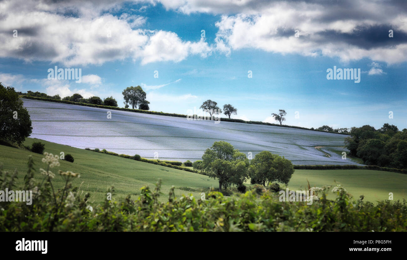 LInseed Field in the Chilterns near Henely on Thames - Stock Image