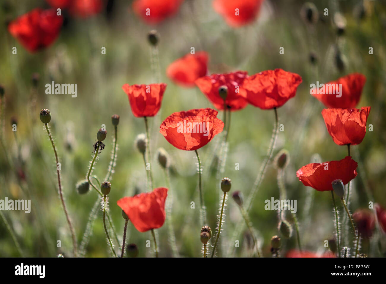 Red Summer Wild Poppies in the Chilterns - Stock Image