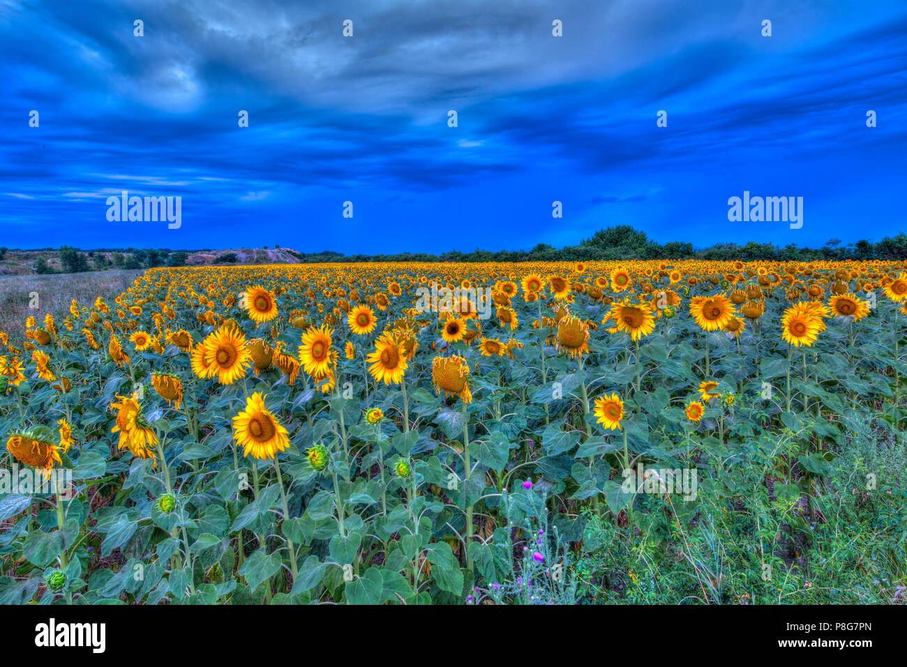 Sunflower field - Stock Image
