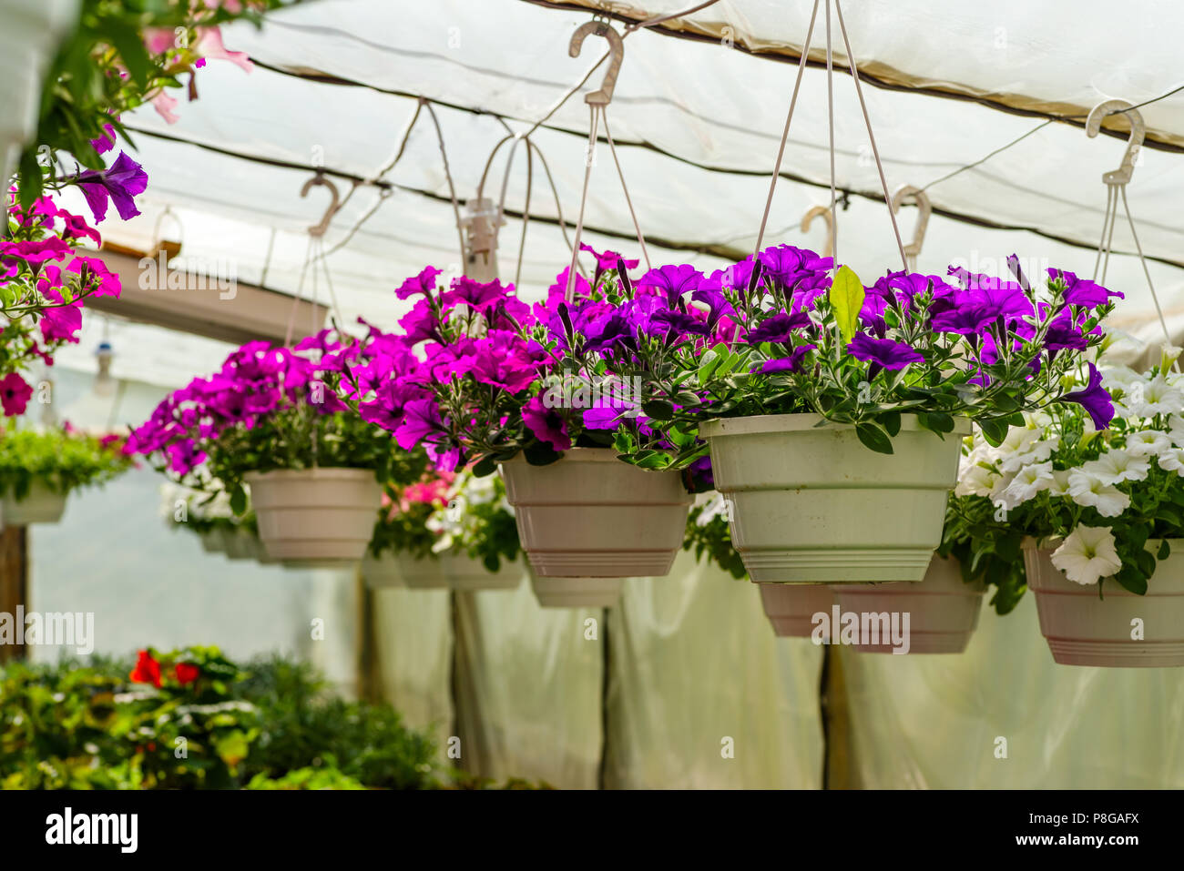 different flowers in the greenhouse - Stock Image