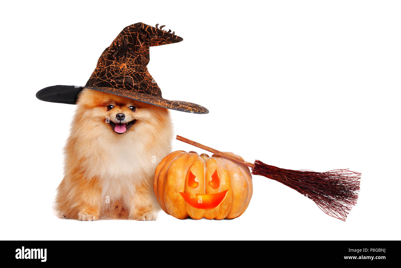 Red pomeranian spitz wearing witch hat sitting next to halloween decorations - Stock Image