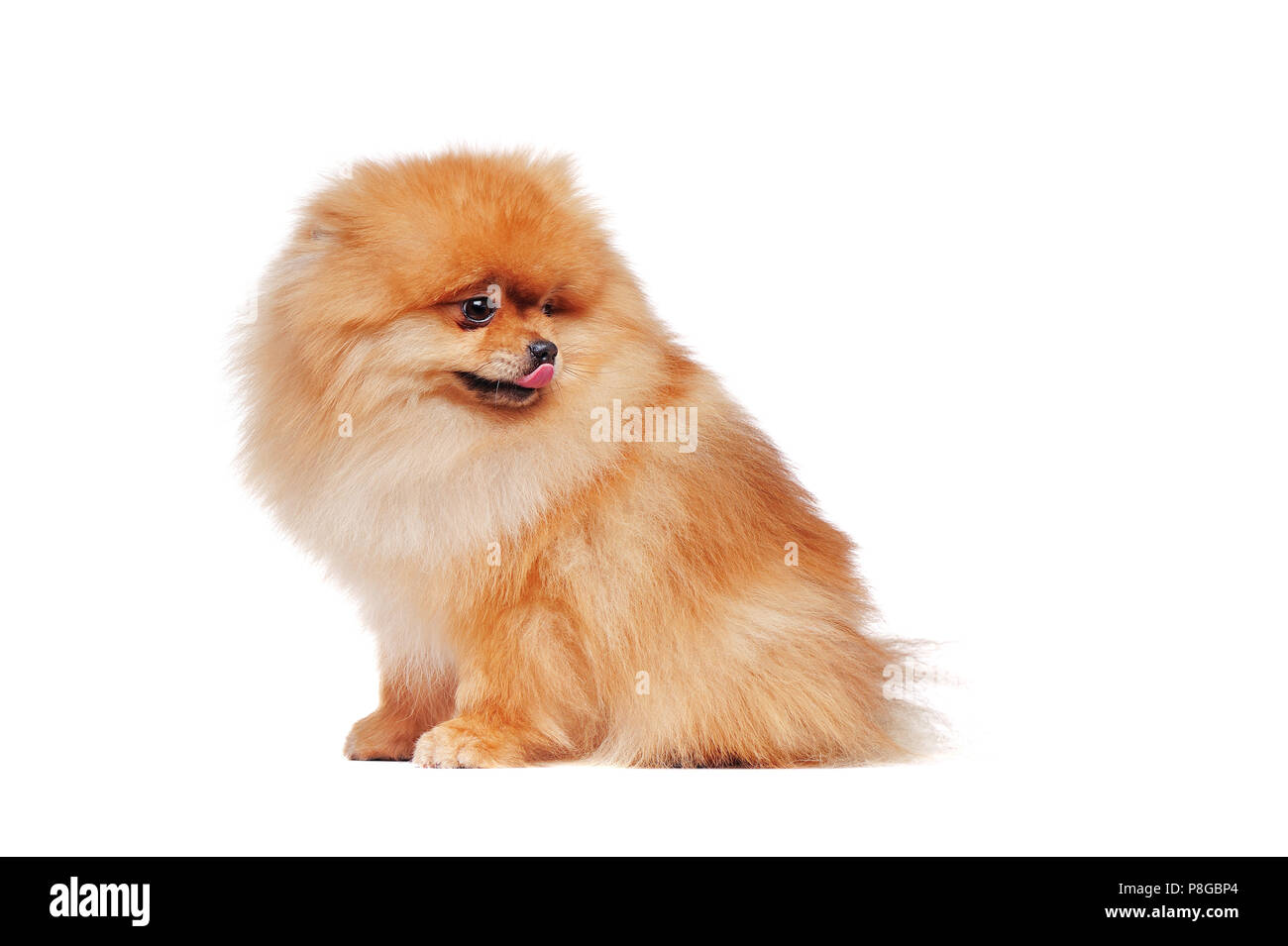 Side view portrait of a sitting pomeranian spitz dog looking back to the copy space area - Stock Image