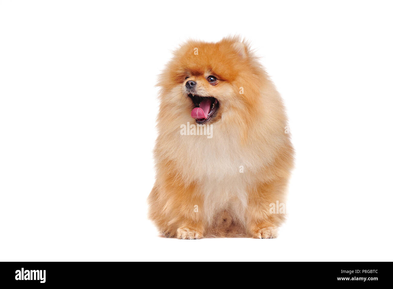 Yawning red pomeranian spitz looking to the side - Stock Image