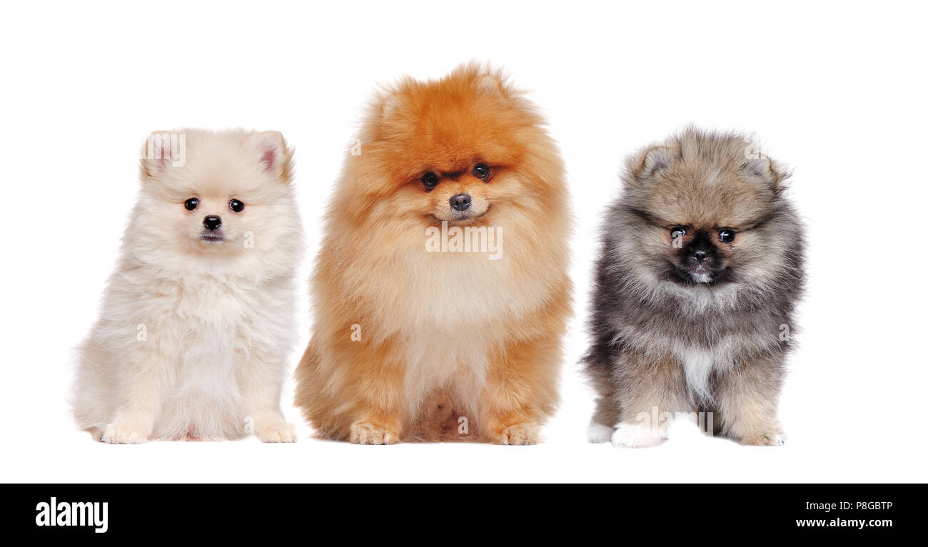A family of long haired pomeranian spitz dogs isolated on white - Stock Image