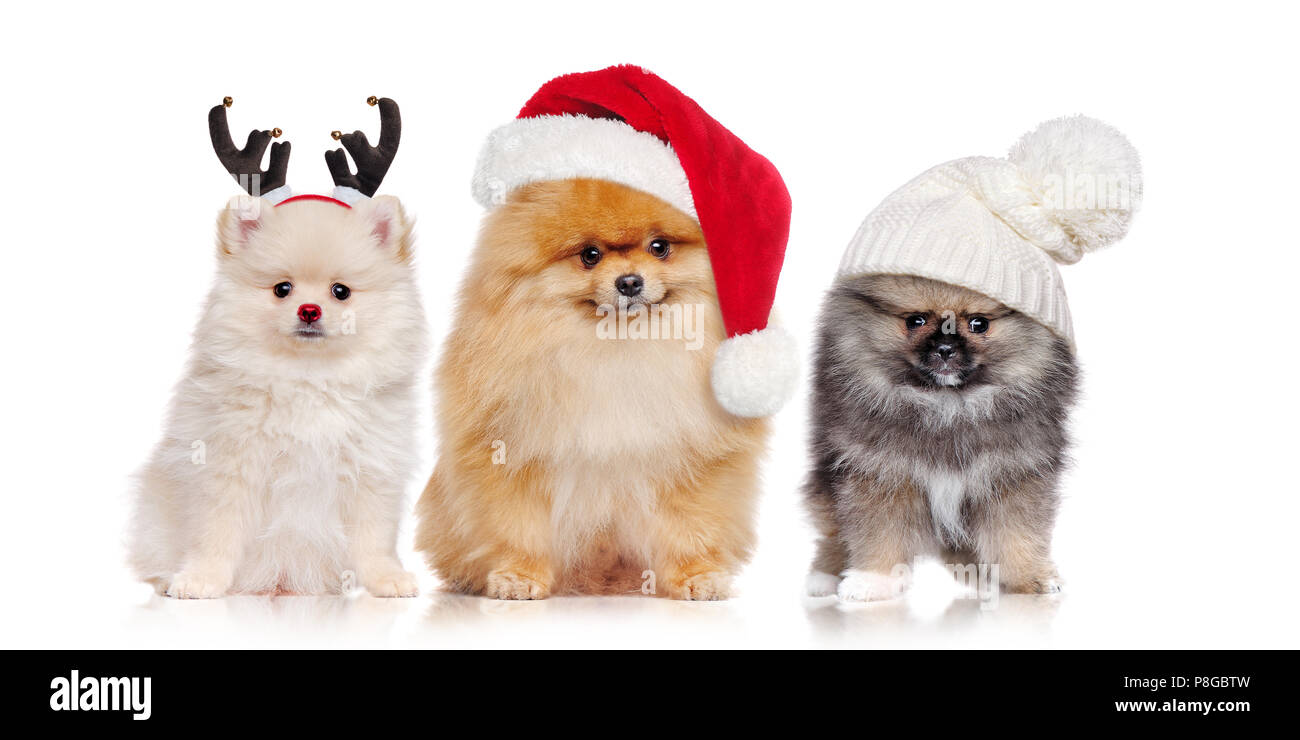 A group of pomeranian spitz dogs wearing christmas outfit - Stock Image