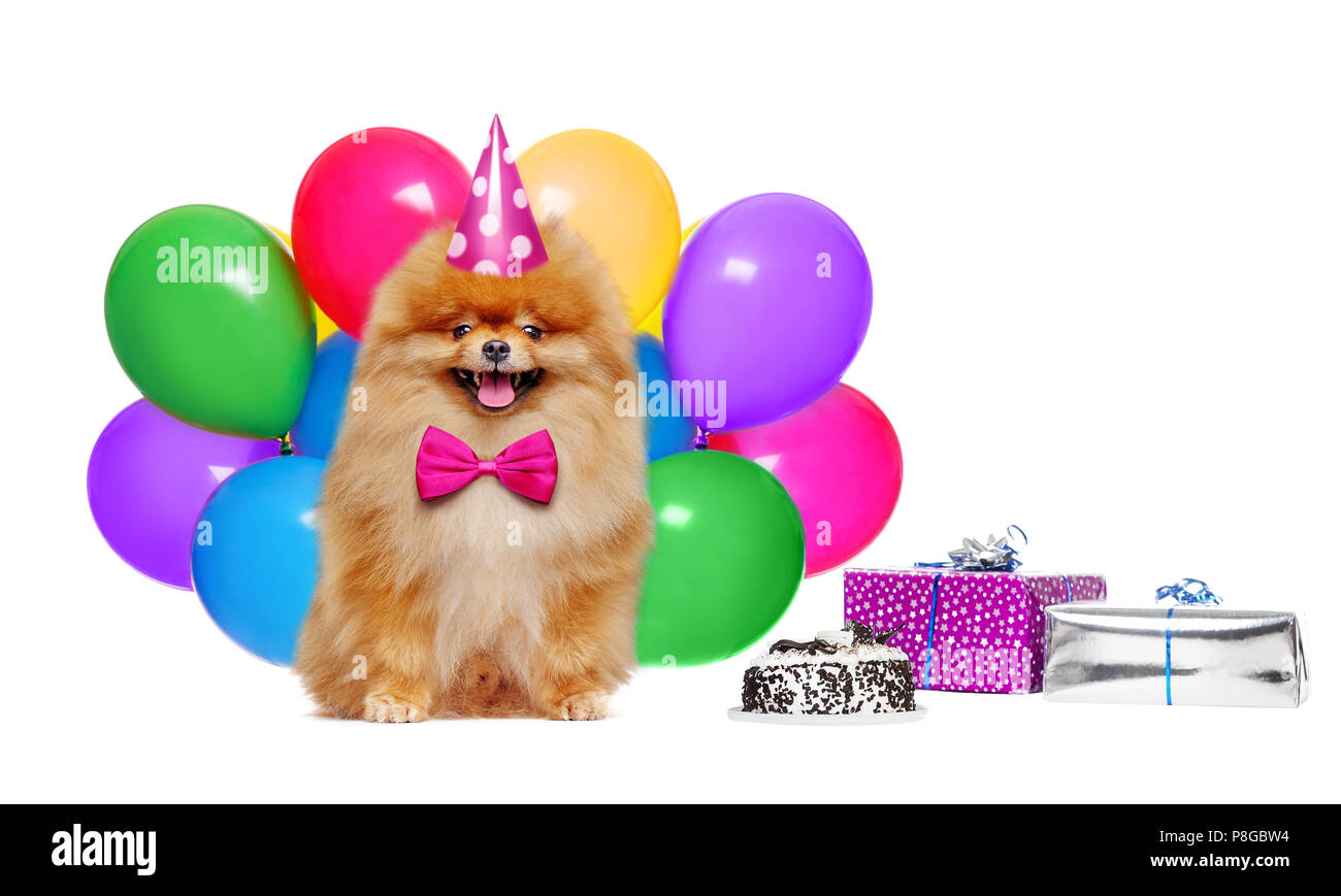Birthday red pomeranian spitz against colorful air balloons - Stock Image