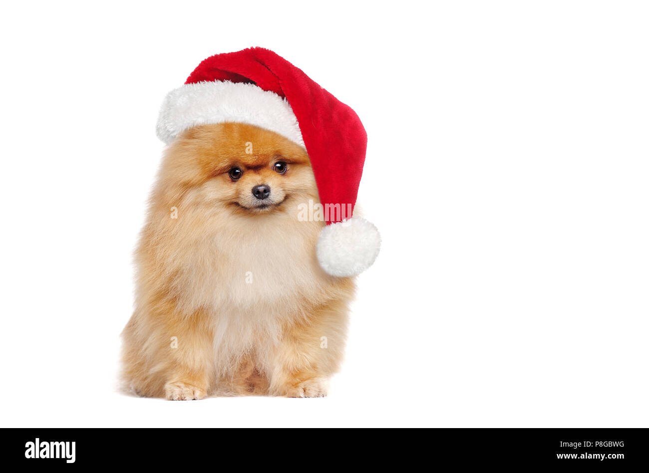 Full length portrait of a sitting red pomeranian spitz wearing santa hat - Stock Image