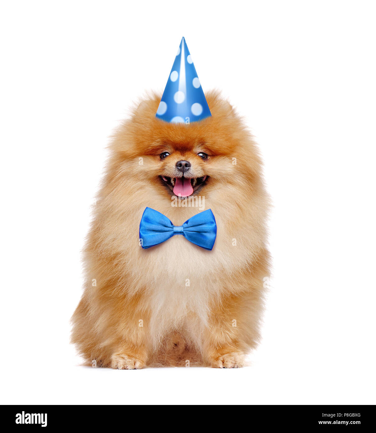 Pretty red pomeranian spitz wearing birthday outfit - Stock Image