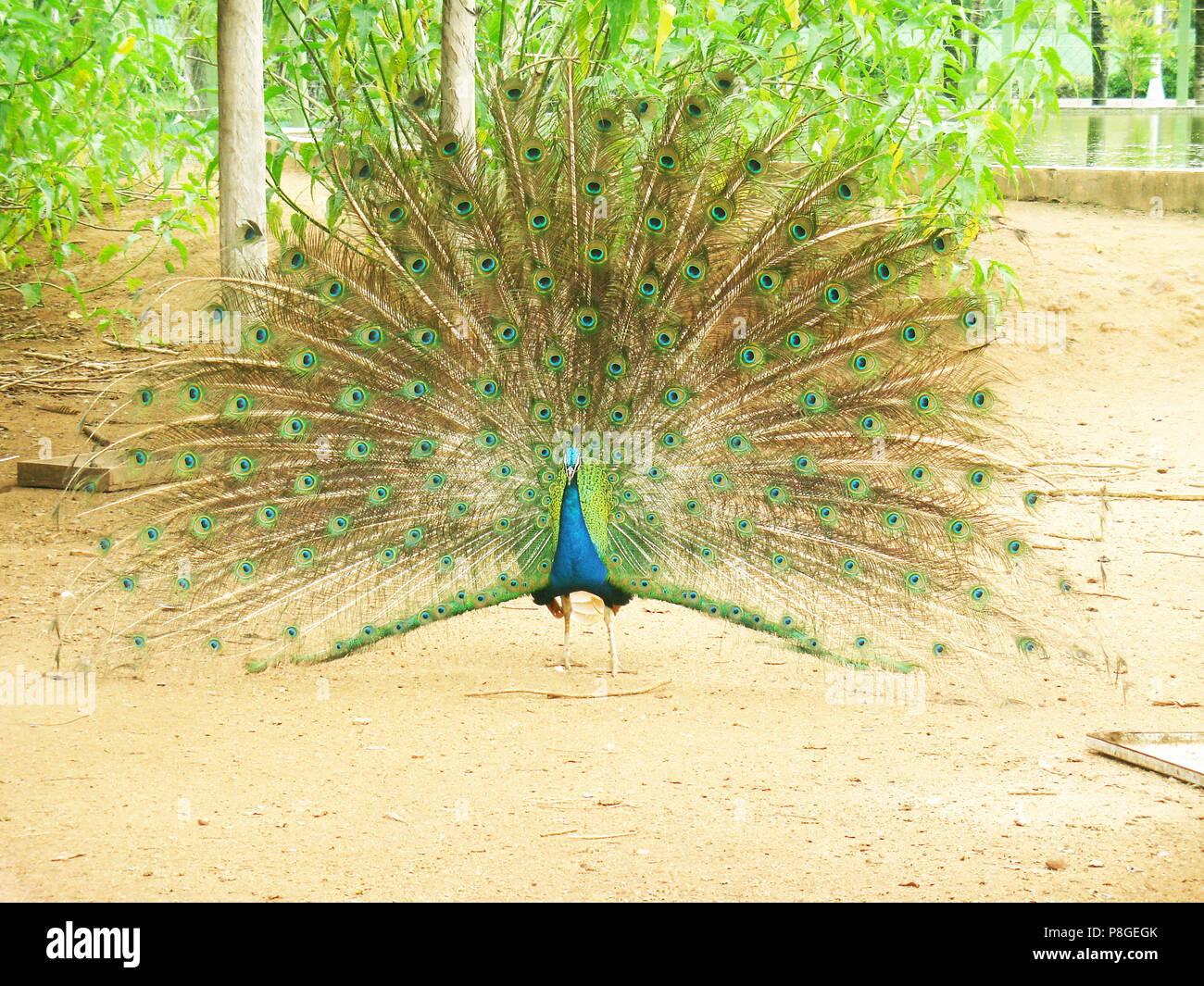 Bird, peacock, nursery, Espírito Santo, Brazil. - Stock Image