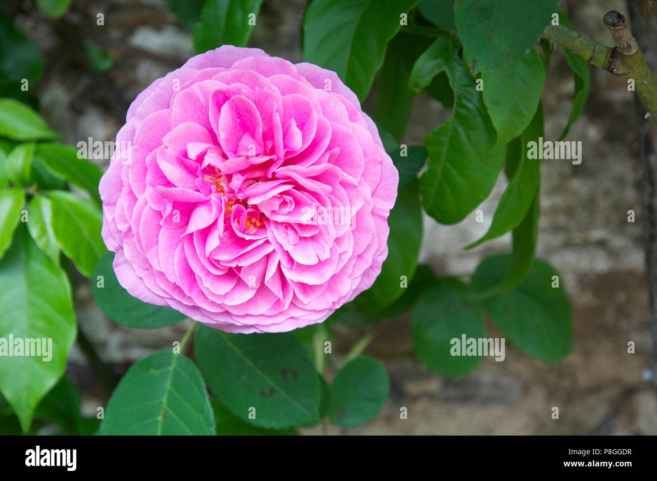 Pink double rose Stock Photo