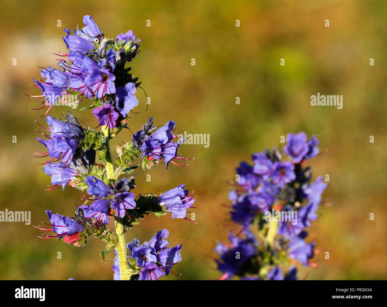 Vipers bugloss, Echium vulgare, on the seashore of Gotland Island in Sweden. - Stock Image