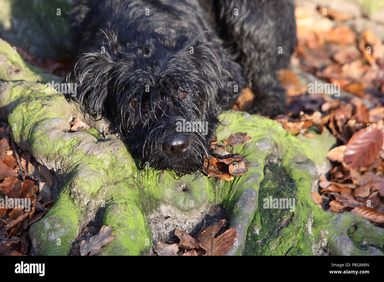 Berlin, Germany, Riesenschnauzer lies in the forest on a tree root - Stock Image