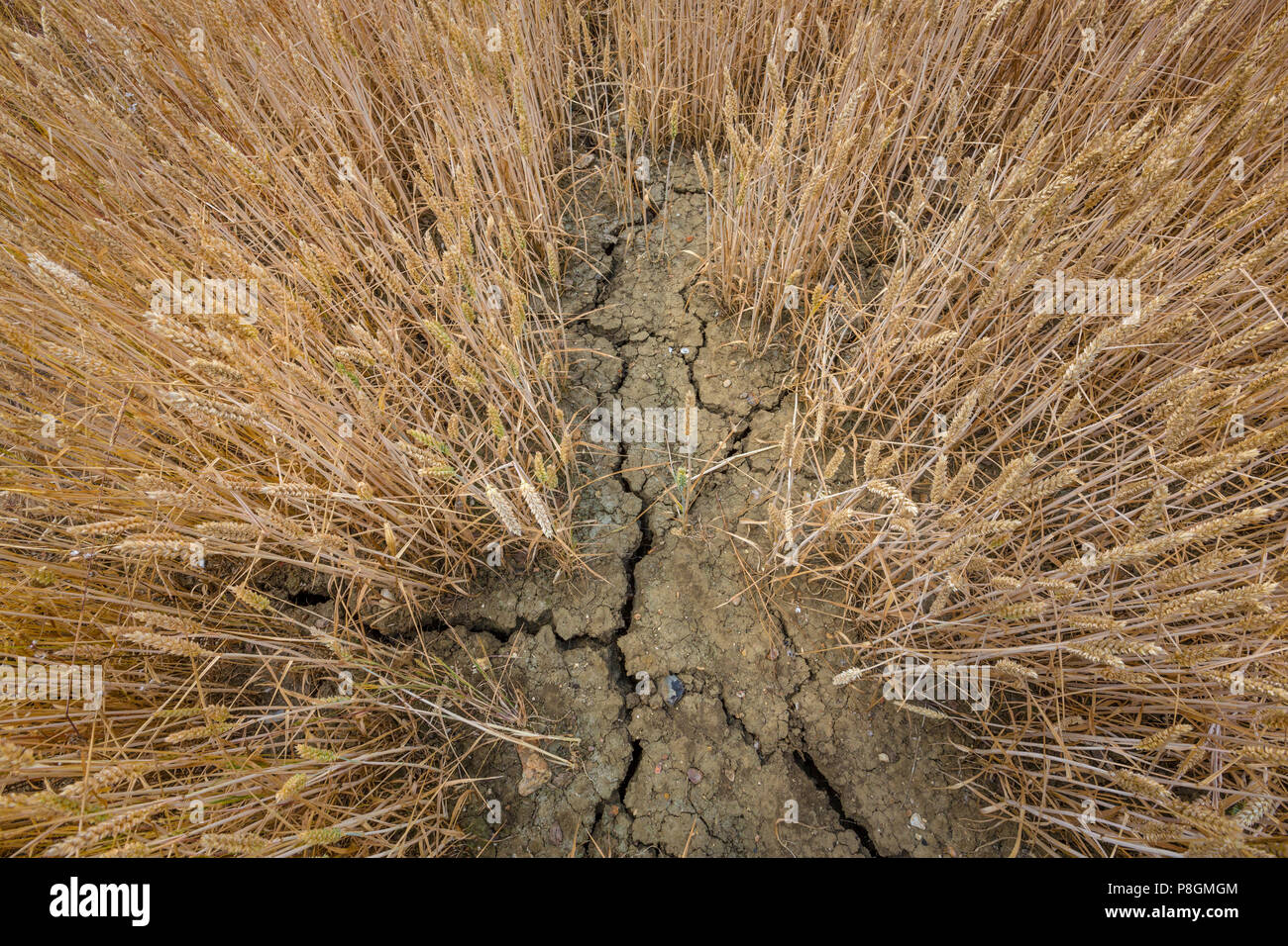 Wheatfield in Suffolk, UK.. Very dry parched soil after over a month without rain. - Stock Image