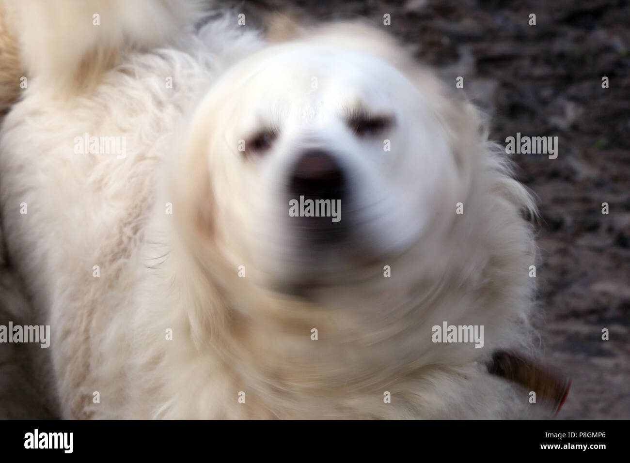 New Kaetwin, Germany, Pyrenean mountain dog shakes his head - Stock Image