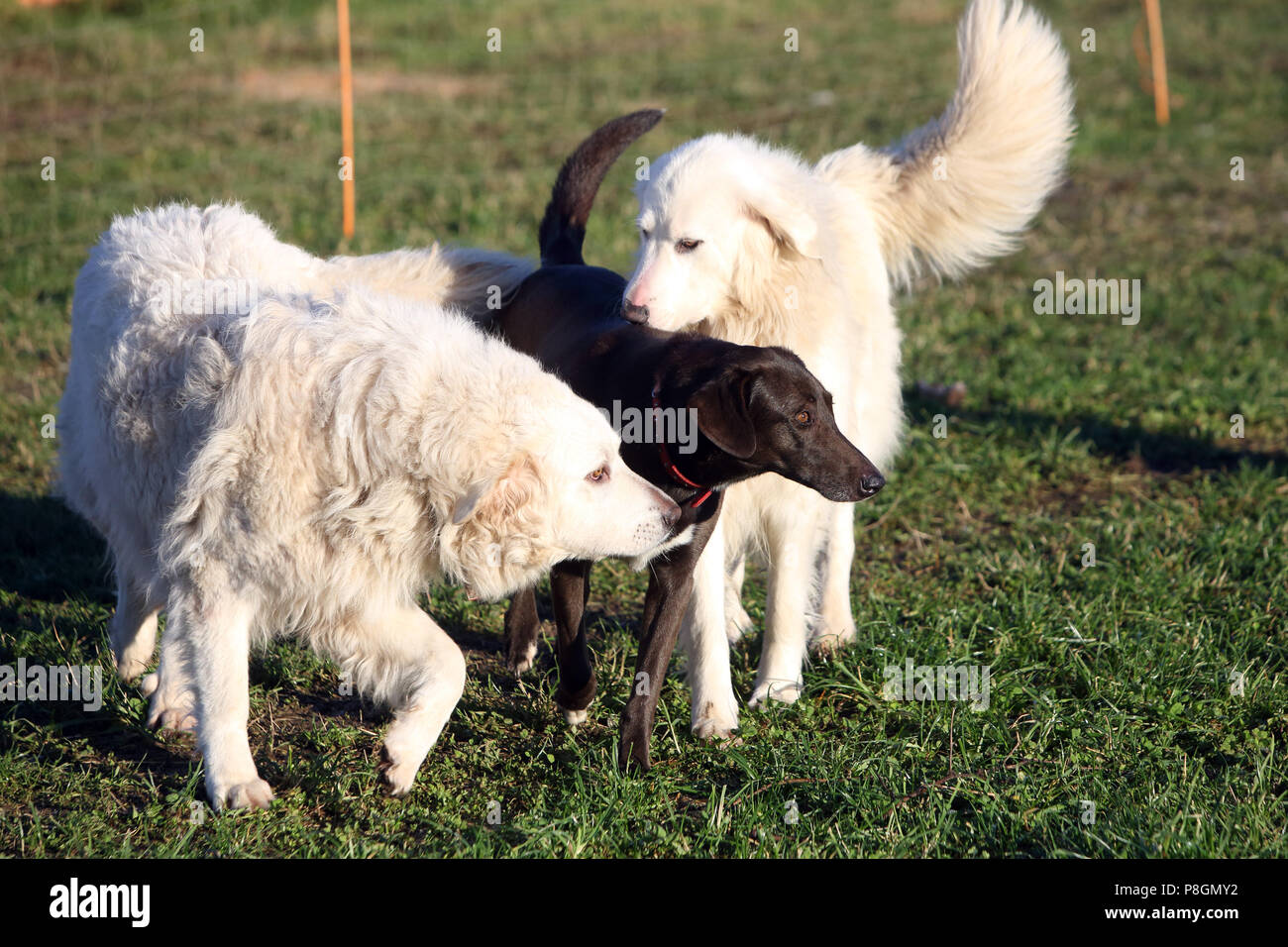 Neu Kaetwin, Germany, Pyrenees mountain dogs require a hunting dog - Stock Image