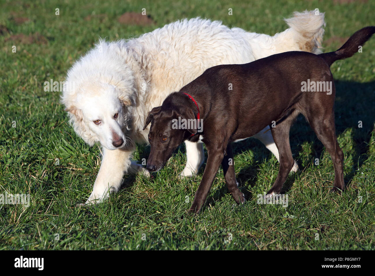 Newly Kaetwin, Germany, Pyrenean mountain dog is imposing a hunting dog - Stock Image