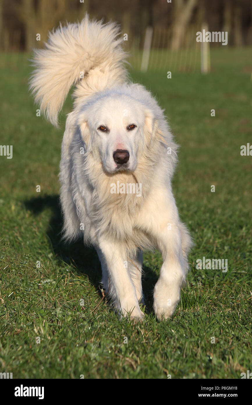 New Kaetwin, Germany, Pyrenean mountain dog - Stock Image