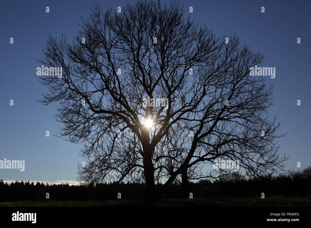 New Kaetwin, Germany, sun shines through a leafless tree in winter - Stock Image