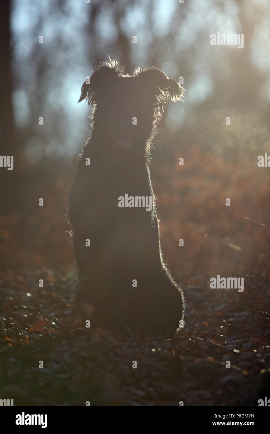 New Kaetwin, Germany, Silhouette, Giant Schnauzer sits panting in the woods - Stock Image