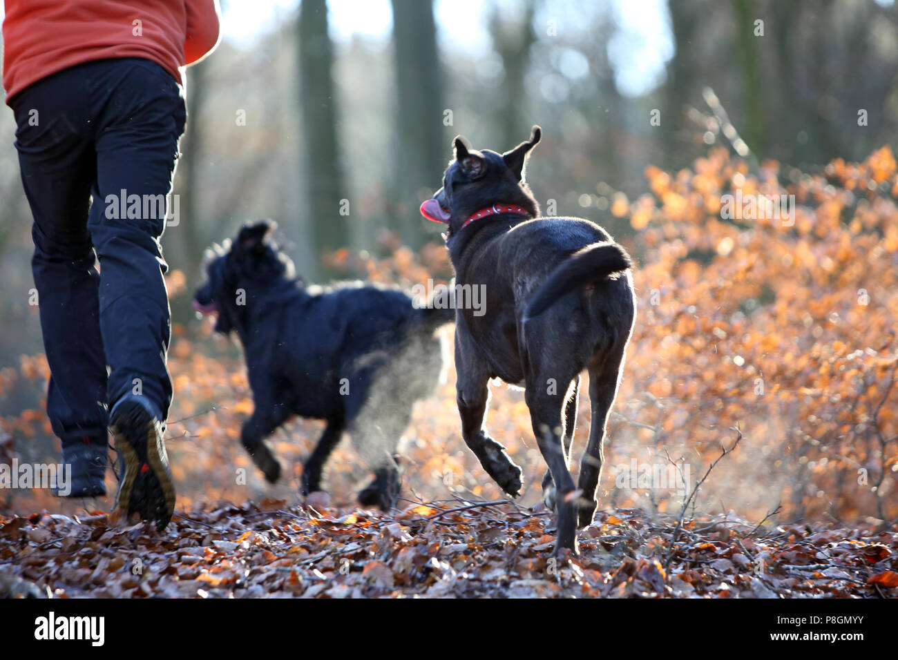 New Kaetwin, Germany, symbol photo, jogging in the woods with dogs - Stock Image
